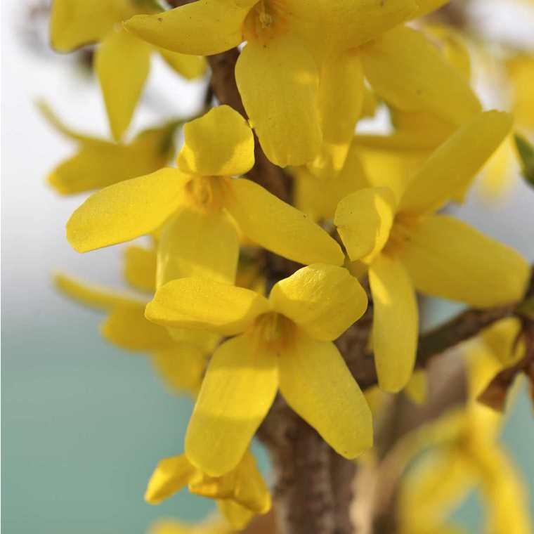 Forsythia jaune - Pot de 7L 197199