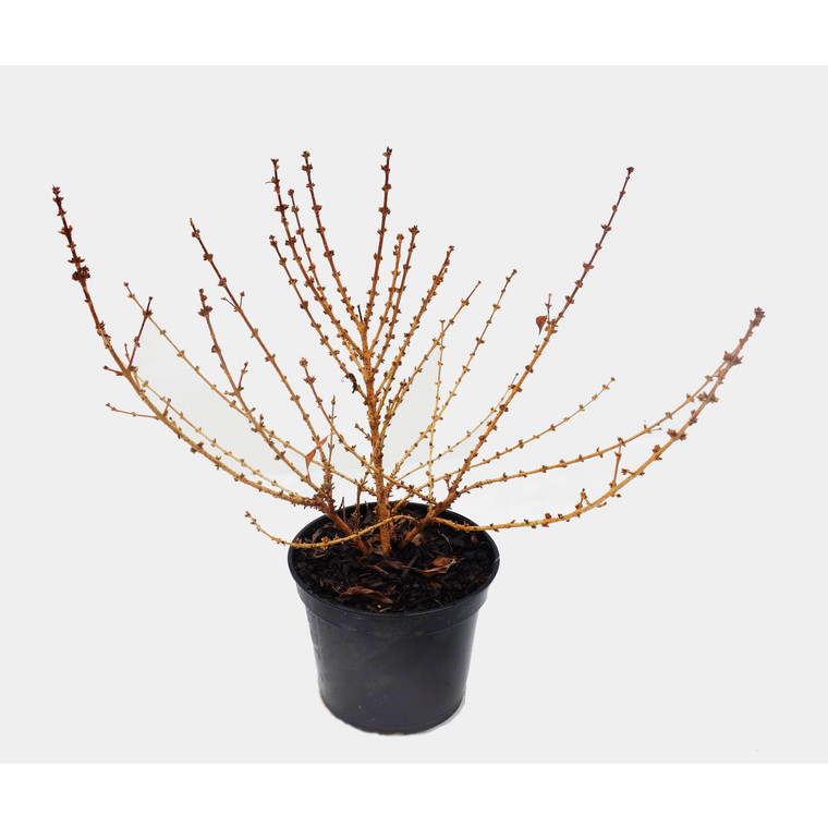 Forsythia Intermedia Mikador – Pot de 5L 199797