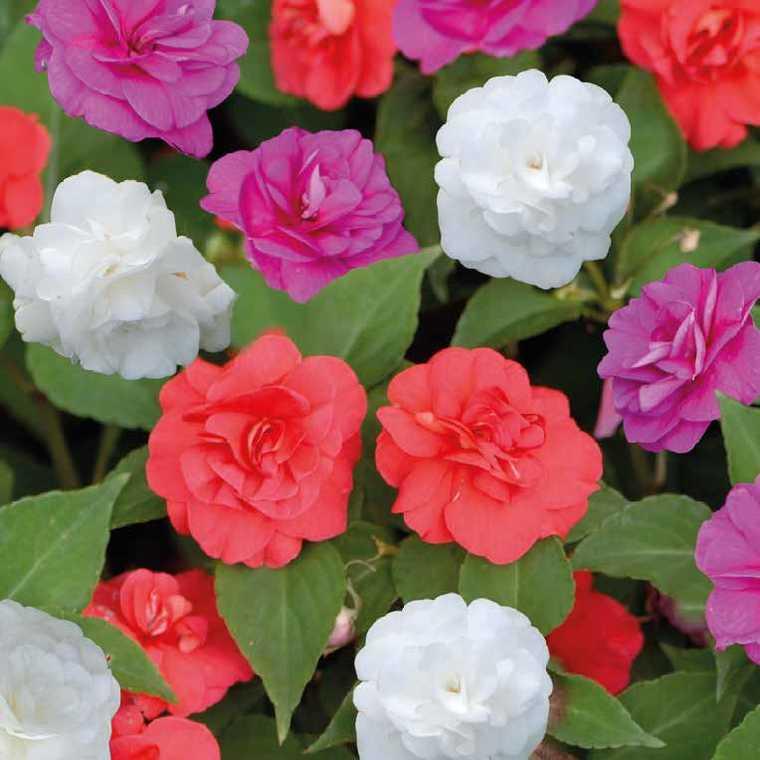 impatiens fleurs doubles le pot de 9 x 9 cm plantes balcon et terrasse nos produits botanic. Black Bedroom Furniture Sets. Home Design Ideas
