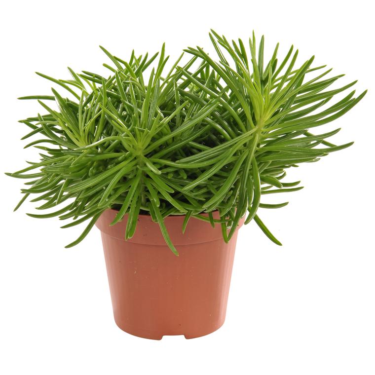 plante huitre