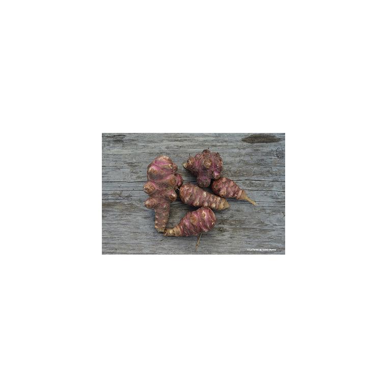 Topinambour Violet de Rennes AB x 5 plants bio