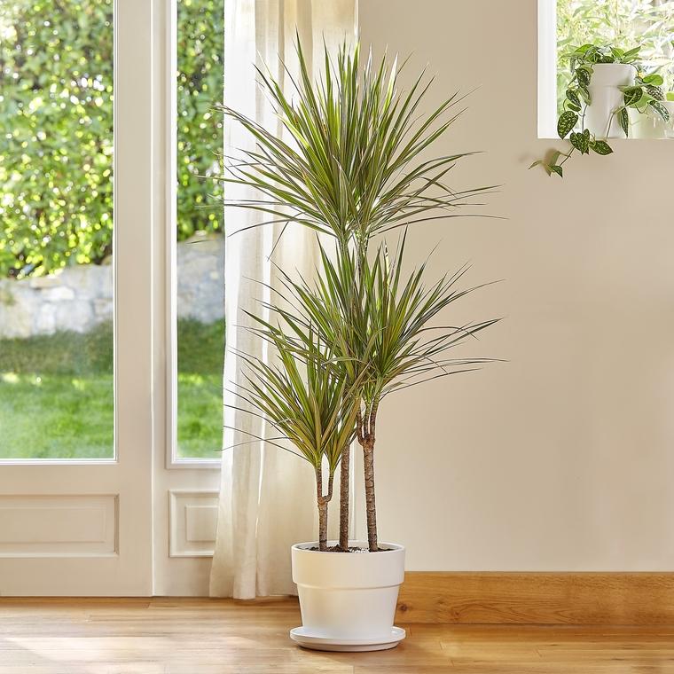 Dracaena marginata bicolor le pot de 26 cm botanic - Entretien dracaena marginata ...