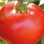 Tomate A Gros Fruits Pyros. La barquette de 6 plants