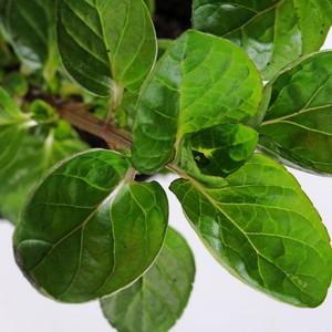 Plante répulsive Mentha. Le pot de 12 cm