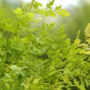 Plante répulsive Anthriseus. Le pot de 12 cm
