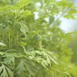 Plante répulsive Artemisia. Le pot de 12 cm