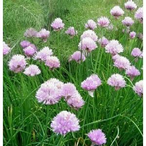 Plante répulsive Allium. Le pot de 12 cm