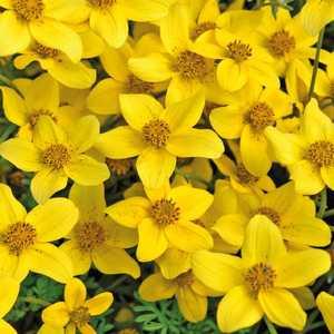 Bidens jaune. Le pot de 9 x 9 cm