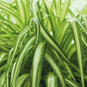 Chlorophytum. Le pot de 9 x 9 cm