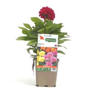 dahlia nain de bouture rose en pot de 9x9 cm botanic. Black Bedroom Furniture Sets. Home Design Ideas