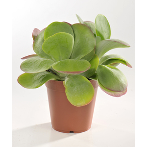 Kalankoe thyrsiflora en pot Ø 12 cm
