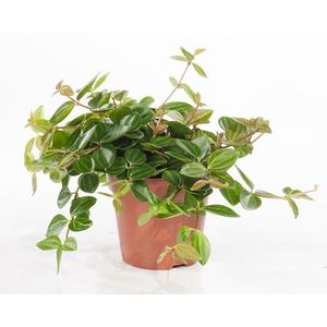 Peperomia angulata