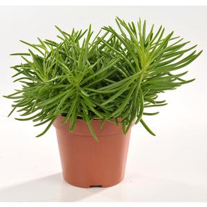 Senecio himalaya plantes vertes maison botanic for Plante haute interieur