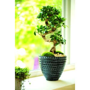 Ficus Ginseng et son cache-pot céramique