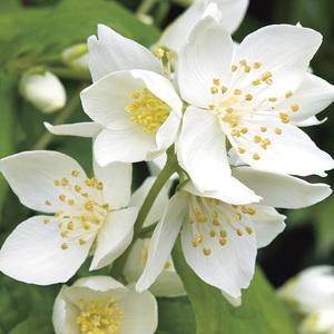Seringat blanc - Pot de 3L