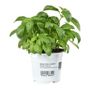 Basilic Prêt À Cuisiner. Le pot de 10,5 cm