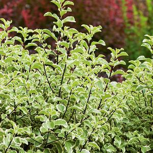Pittosporum Tenuifolium varié en pot de 3 litres 246585