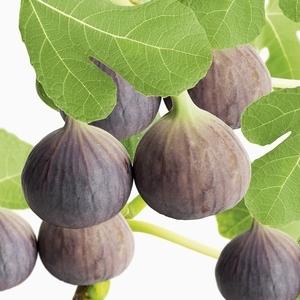 Figuier Violette Dauphine Le pot de 5 litres