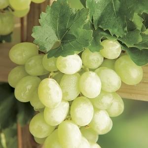 Vigne Italia Le pot de 5 litres