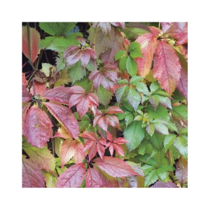 Vigne vierge Quinquefolia en pot de 3 litres 250522