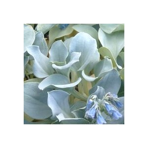 Plante saveur huitre le pot de 1 litre botanic for Plante huitre