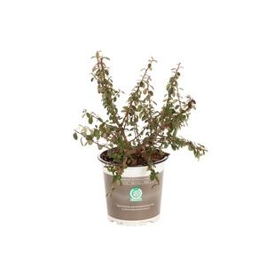 Plante couvre-sol en pot de 1 litre