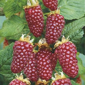 Tayberry Buckingham bio Le pot de 2 litres