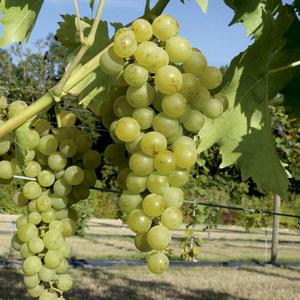 Vigne Muscat blanc Birstaler Muskat Le pot de 2 litres