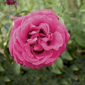 Rosier Rose Lalande de Pomerol® Le pot de 3 litres