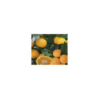 Calamondin Panaché en pot de 3 L Bio