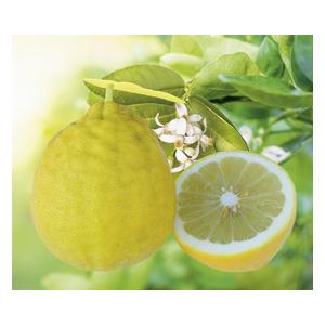 Citronnier de Padoue en pot de 3 L Bio