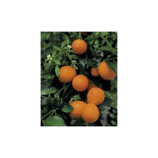 Kumquat Obowata en pot de 3 L Bio