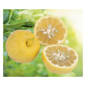 Lime Douce de Rome en pot de 3 L Bio