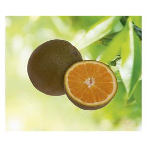 Oranger vert en pot de 3 L Bio