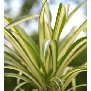 Bien-être animal Chlorophytum. Le pot de 12 cm