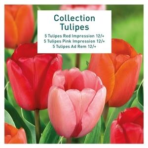 Tulipe Darwinn hybr. X15
