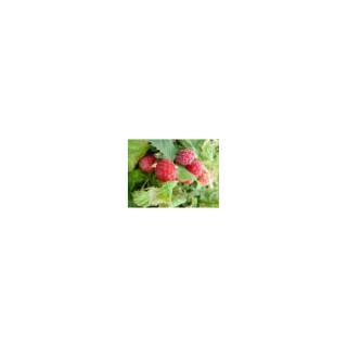 Framboisier RUBY BEAUTY® Le pot de 2 litres