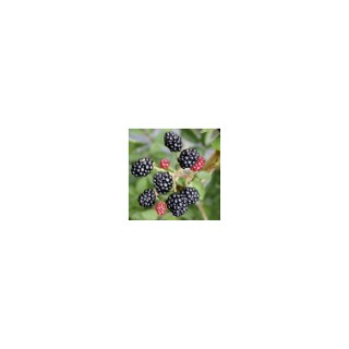 Mûrier Lowberry® Little Black Prince Le pot de 2 litres