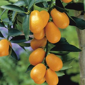 Kumquat bio Le pot de 3 litres