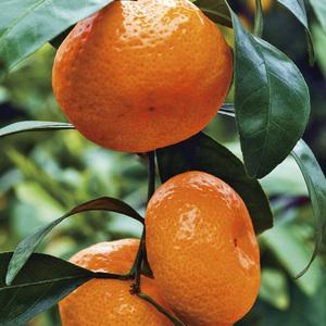 Mandarinier Satsuma bio Le pot de 3 litres