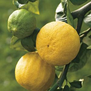 Bergamotier bio Le pot de 3 litres