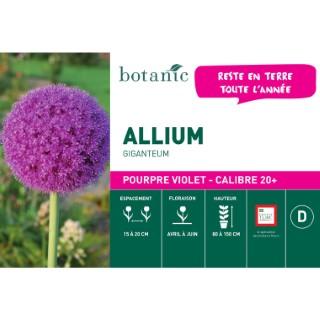 Bulbe allium giganteum violet pourpre en vrac botanic® 258078