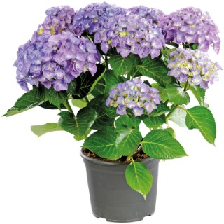 HYDRANGEA MACROPHYLLA  'Music Collection'.Le pot de 5L