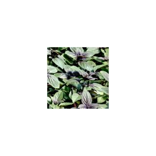 Basilic Cannelle. Le pot de 1 litre