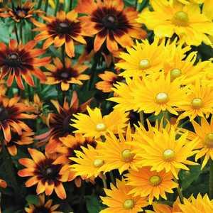 Rudbeckia Annuel botanic® - Pot 9x9 265673