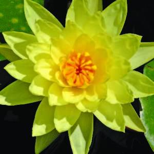 Nénuphar 3L jaune 274226