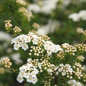 Spirée Japonaise Snowmound blanc - Pot de 7L