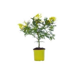 Mimosa (ACACIA DEALBATA) Le pot de 5 litres