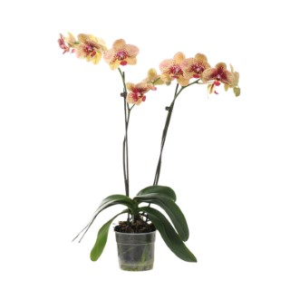 Phalaenopsis collection jaune 2 br. Pot 12 cm