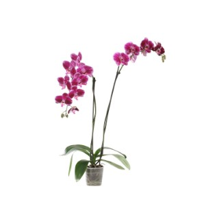Phalaenopsis collection rose foncé 2 br. Pot 12 cm